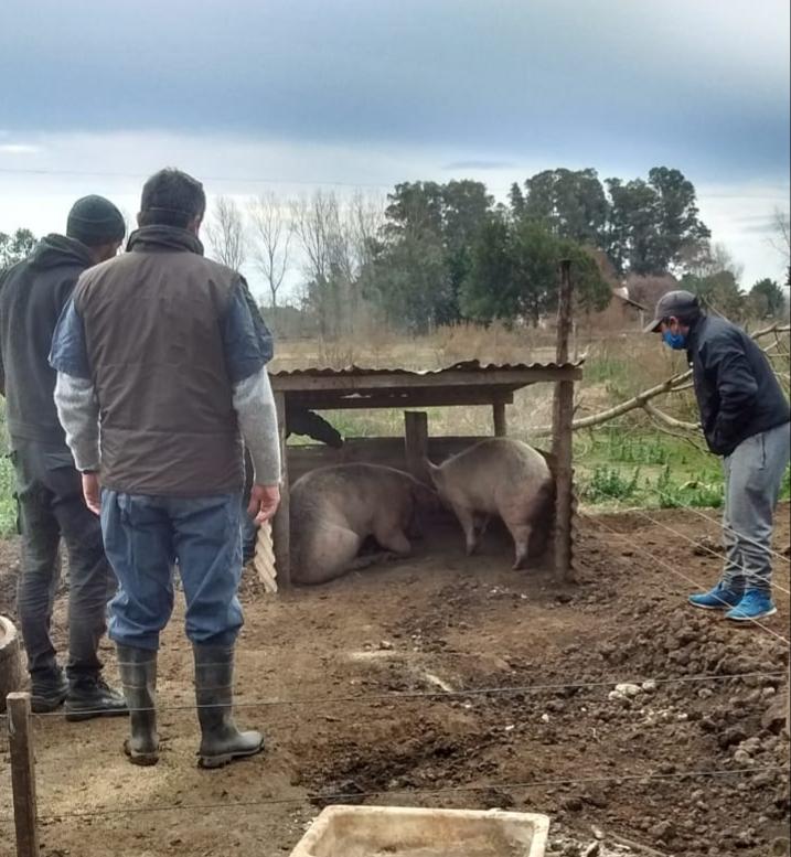 [Triquinosis] Intervención del SENASA: Ordenan la faena de los animales y observan incumplimento de condiciones sanitarias